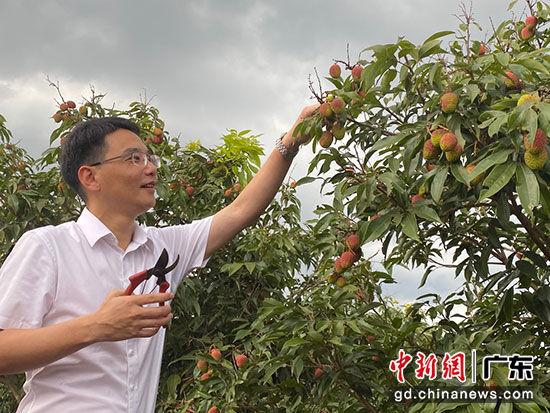 ▲雷州市市长黄廉东带168万拼多多网友走进了雷州的荔枝园。(摄影:杨祖华)