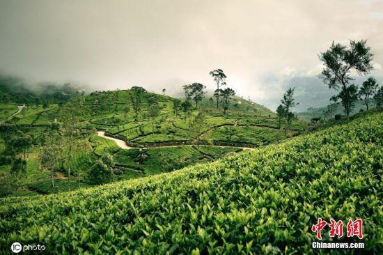 """5月21日,是联合国确定的首个""""国际茶日"""",茶是世界三大饮品之一,一起来看看全球""""醉美""""茶园。图为斯里兰卡茶园。图片来源:ICphoto"""