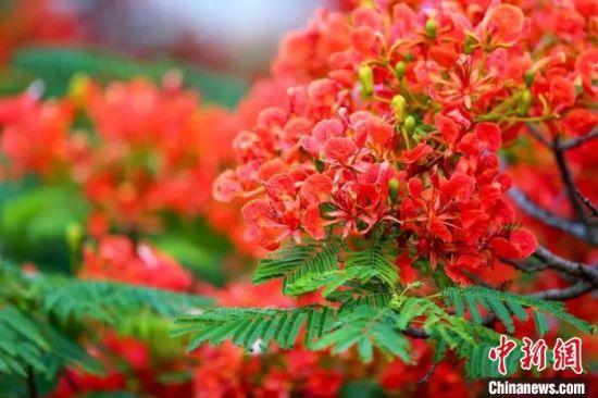 广州祈福新村的凤凰木花开正艳。 程景伟 摄
