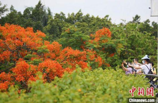 广州市民正在对着开得正艳的凤凰木拍摄。文清 摄