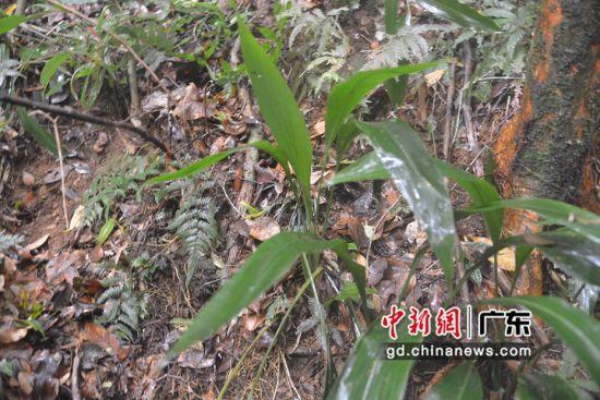 广东茂名发现珍稀濒危植物兰花蕉群落