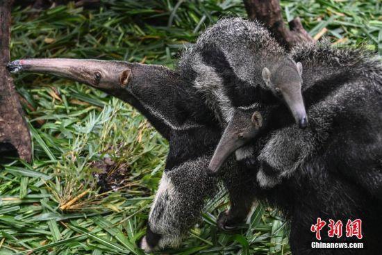 6月10日,在位于广东省广州市番禺区的长隆野生动物世界内,大食蚁兽妈妈背着龙凤胎幼崽亮相与游客见面。这对大食蚁兽龙凤胎,在2020年3月3日出生,出生体重都为900克左右。 中新社记者 陈骥�F 摄