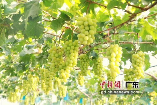 华阳生态农业葡萄园内葡萄品质好。受访者供图。