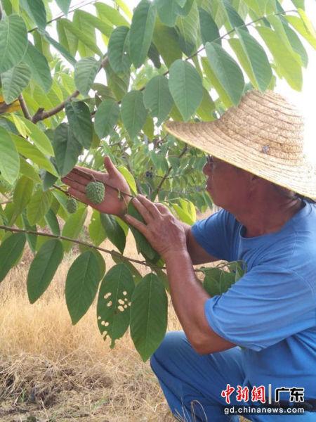 台湾园艺师林瑞明正在果园里观察释迦的生长情况。李健群 摄