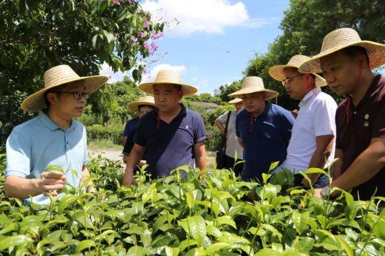 参会人员实地调研了莱苏茶场。李伟良 摄