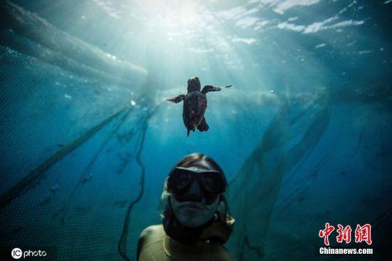 """当地时间8月18日,土耳其安塔利亚,土耳其世界纪录保持者、水下联邦的自由潜水员Sahika Ercumen与海龟一起游泳,见证小海龟在水中的""""龟生""""第一步。据悉,受伤的海龟会海龟研究、救援和康复中心接受治疗。经过治疗后,这些海龟会被安置在专门的海域进行观察,以适应它们的自然栖息地。图片来源:ICphoto"""