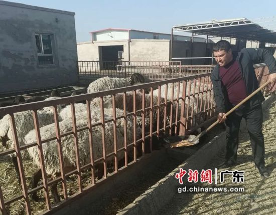 艾尼·吐孙在开尔旺养殖专业合作社喂羊。吉秋霞 摄