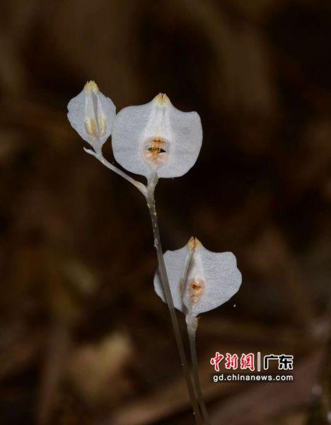 无绿叶水玉簪新种Burmanniadecurrens。 广东省林业局 供图