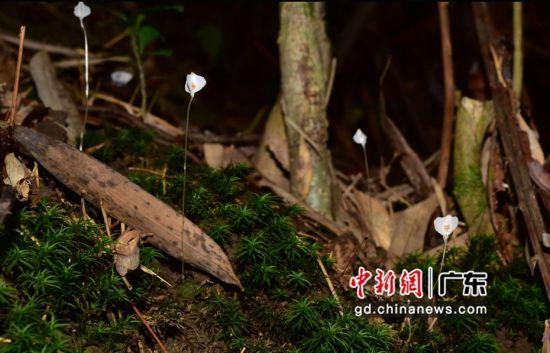 广东云开山国家级自然保护区发现无绿叶水玉簪新种Burmanniadecurrens。 广东省林业局 供图