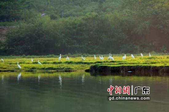 桃花岛生活着上百只苍鹭和白鹭。通讯员 供图