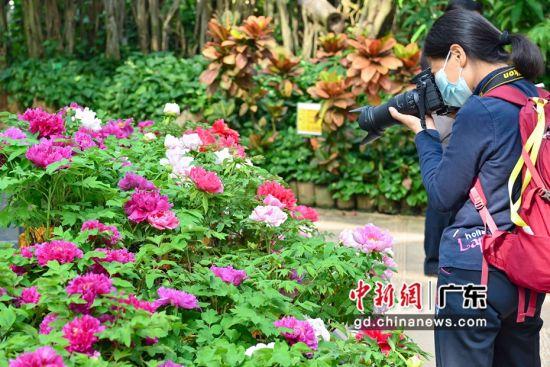 2月4日,华南植物园展出的洛阳牡丹吸引游客。 陈骥�F 摄