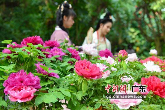 2月4日,华南植物园展出的洛阳牡丹。 陈骥�F 摄