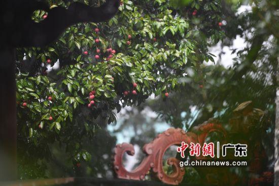 广州市黄埔区,玉岩书院的荔枝树正值果期,荔枝挂满枝头。陈楚红 摄