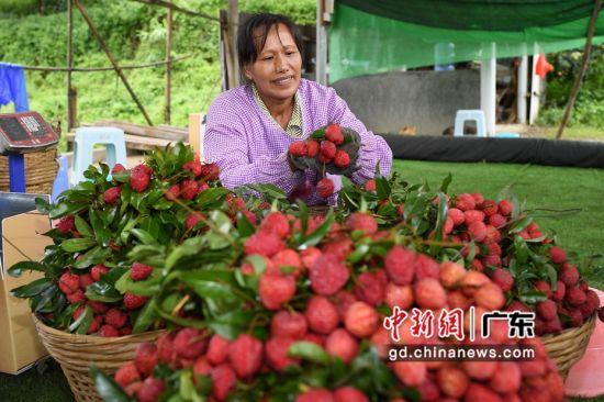 广州市黄埔区新龙镇福洞村帝顶荔枝种植园的工作人员在挑选荔枝装箱。陈楚红 摄