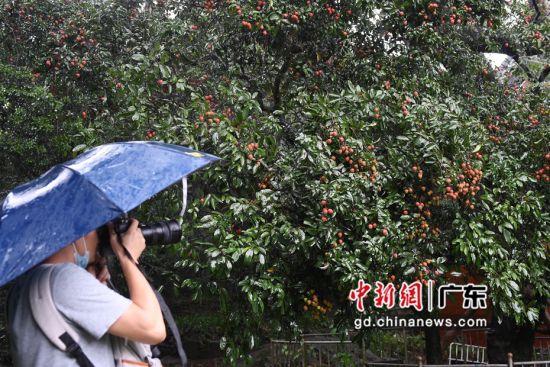广州市黄埔区,一名男子在拍摄玉岩书院催诗台前的古荔枝树。陈楚红 摄