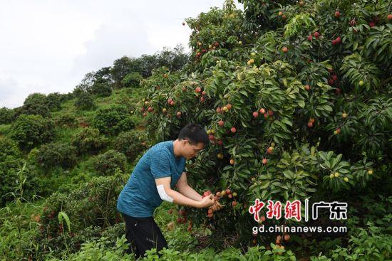 广州市黄埔区新龙镇福洞村帝顶荔枝种植园,一名男子在采摘荔枝。陈楚红 摄
