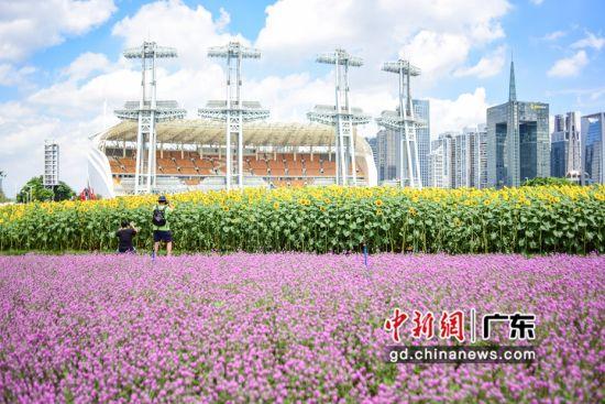 海心沙花开正盛,引来市民游玩。 作者 文国辉(实习生)