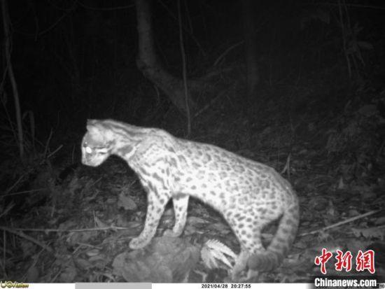 豹猫。广东省林业局 供图