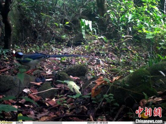 红嘴蓝鹊。广东省林业局 供图