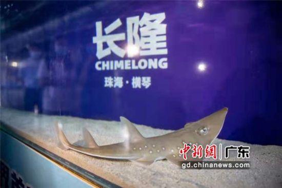 珠海长隆海洋王国成功繁育极危物种及达尖犁头鳐。 作者 邓泳怡