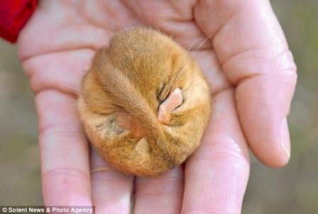 可爱的睡鼠的生命——它的窝暴露在空气当中,它可能被冻死或从冬眠中