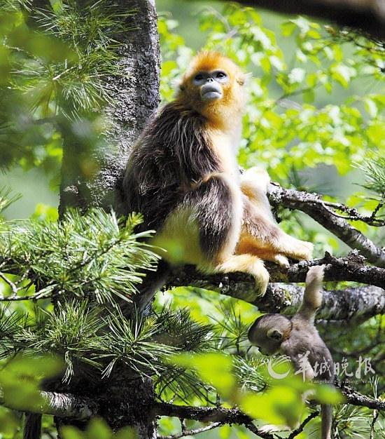 金丝猴_金丝猴图片大全_金丝猴香烟-中国图片资源网