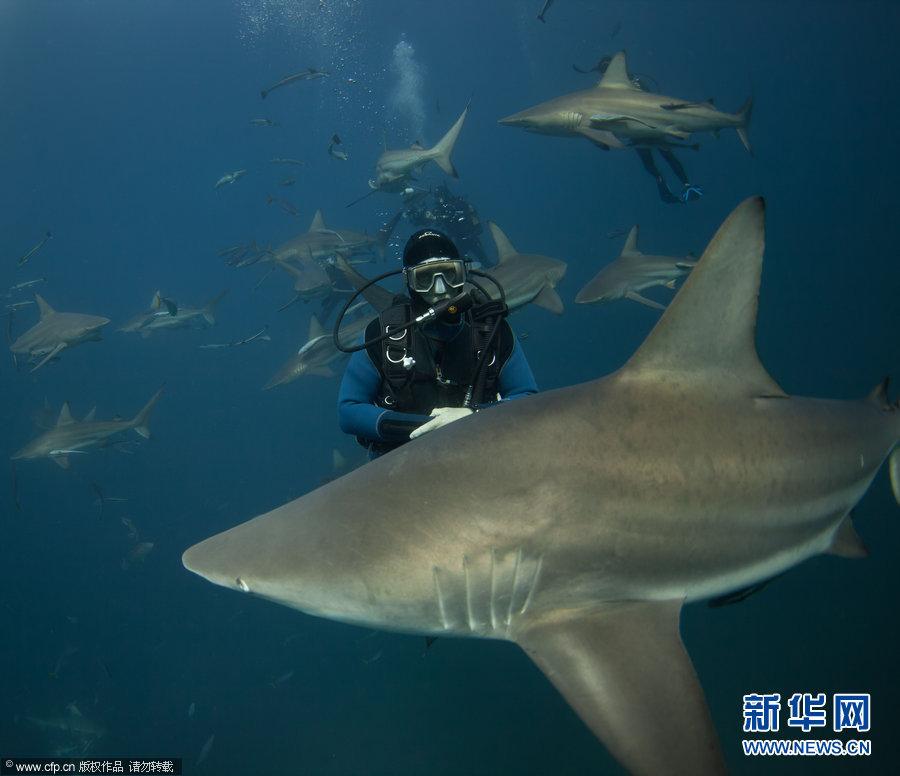 """不可思议!实拍潜水员与鲨鱼群""""亲密接触""""瞬间(3)"""